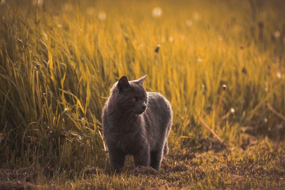 The ideal time to get cats used to the outdoors is in the early evening, before feeding time.