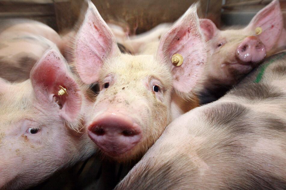 """""""Schweine-Stau"""" in Ställen: Hilfen für Landwirte werden geprüft"""