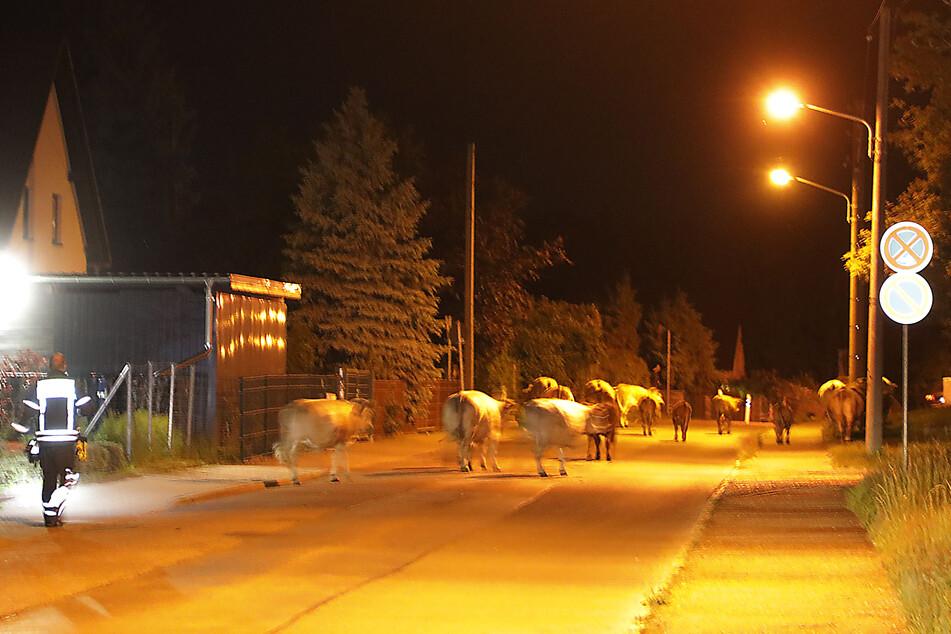 Chemnitz: Chemnitz: Mehrere Kühe blockieren Straße