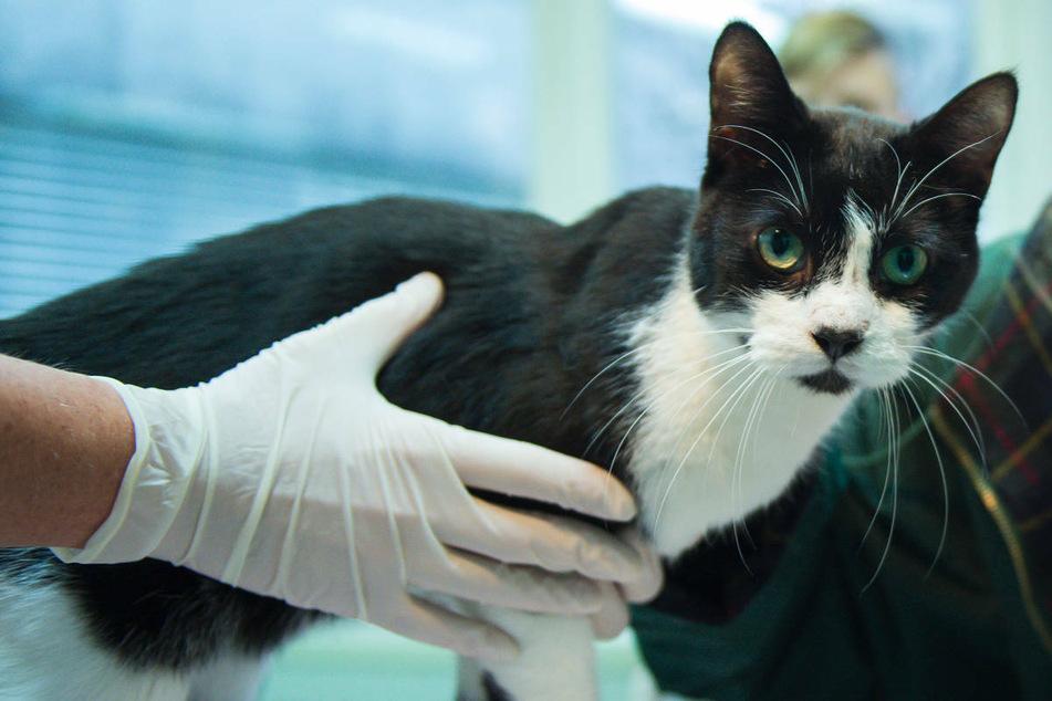 Jetzt geht's Berliner Katzen an den Kragen: Senat beschließt Kastrationspflicht