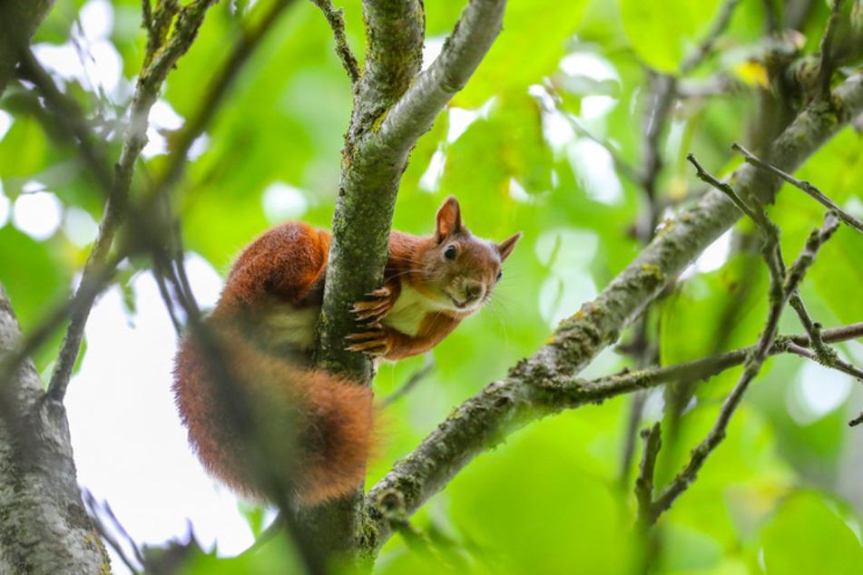 Ein Eichhörnchen sitzt auf einem Ast in einem Baum.