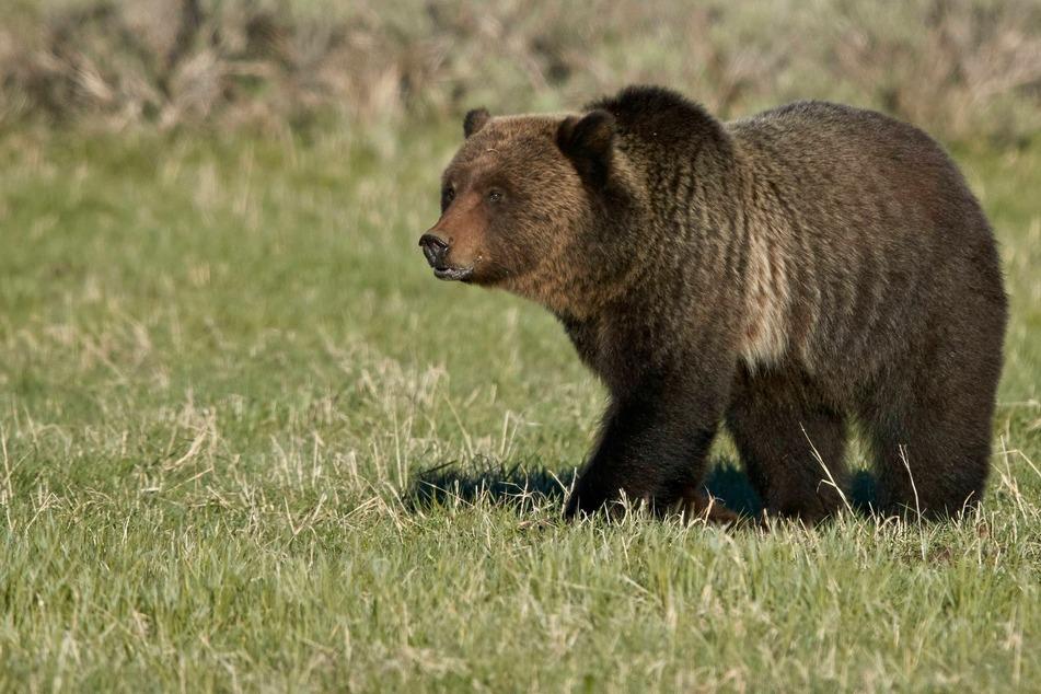 Eine 25-jährige Touristin näherte sich für ein Selfie einer Grizzly-Mama mit Nachwuchs. Das endete in einem Verfahren vor Gericht.