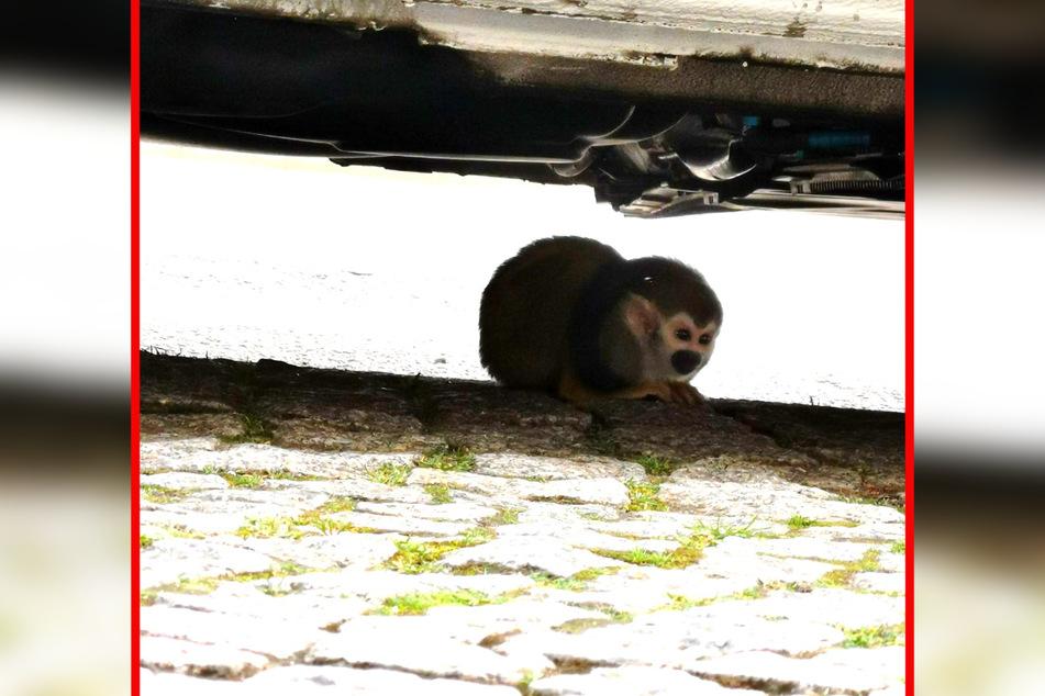 Unter einem Auto wurde das entlaufene Totenkopfäffchen von der Polizei entdeckt. Ein Zoo-Mitarbeiter brachte ihn zurück in den Bergzoo.