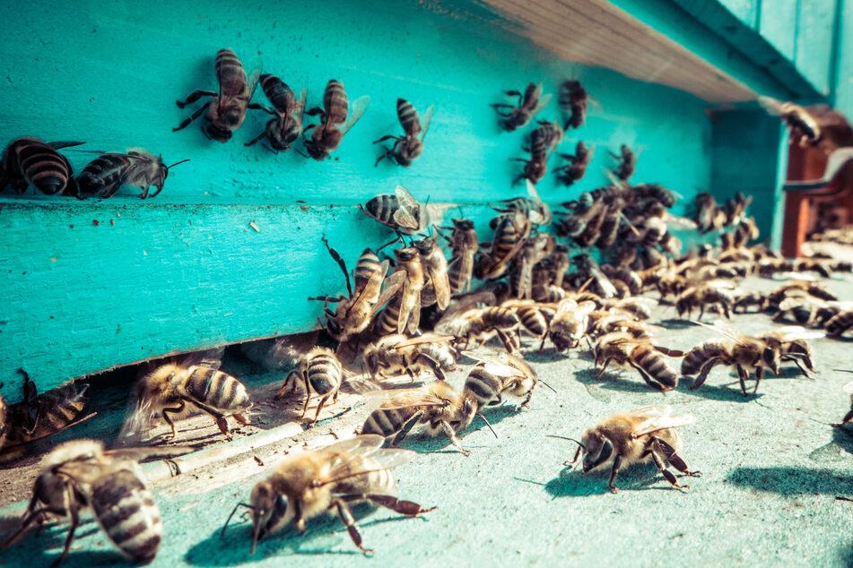 Die Bienen stachen die Gruppe über einhundert Mal (Symbolbild)!