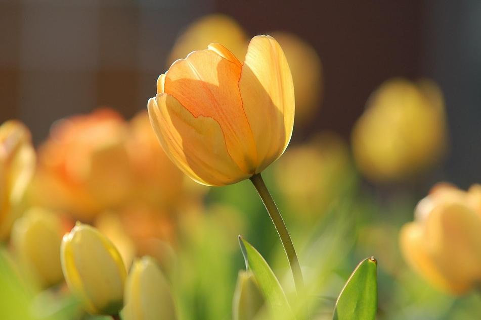 Tulpen gehören ebenfalls zu den Pflanzen, die für Hunde giftig sind