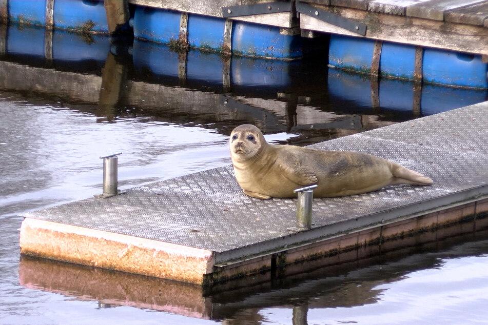 Der junge Seehund ruht sich meist auf den derzeit ungenutzten Bootsstegen des Hafens aus.
