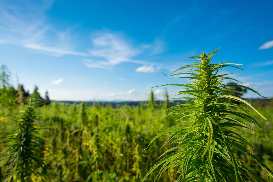 Top aide to Texas Ag Commissioner may pay a high price for alleged hemp license scheme