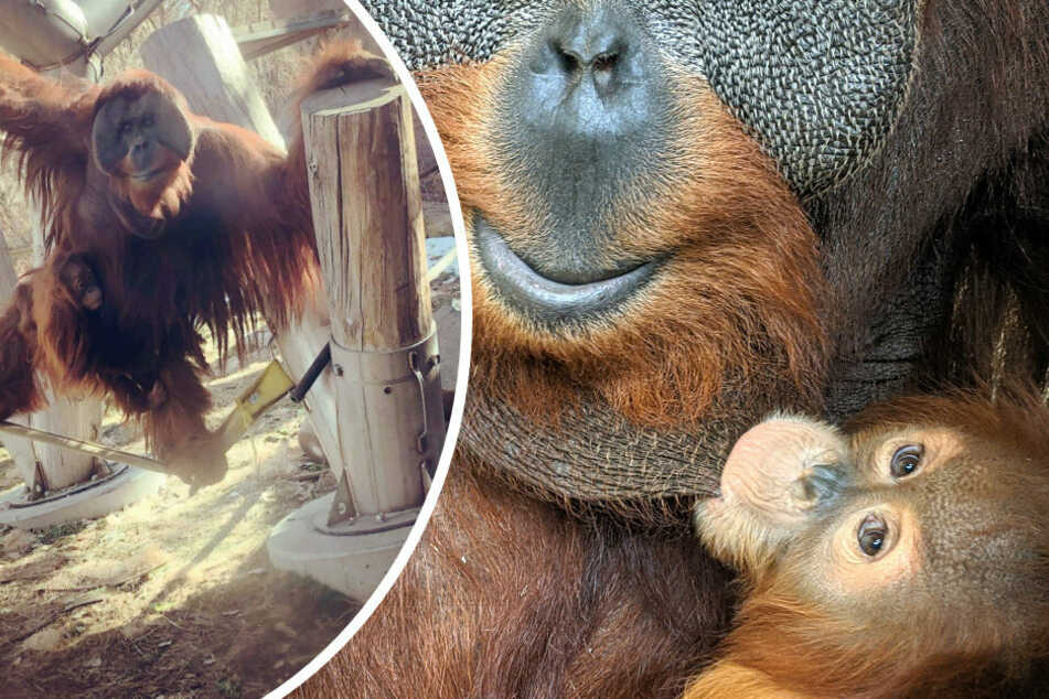 Little Cerah (r.) was adopted by her orangutan father after the death of her mother, which is very unusual in the animal kingdom (collage).
