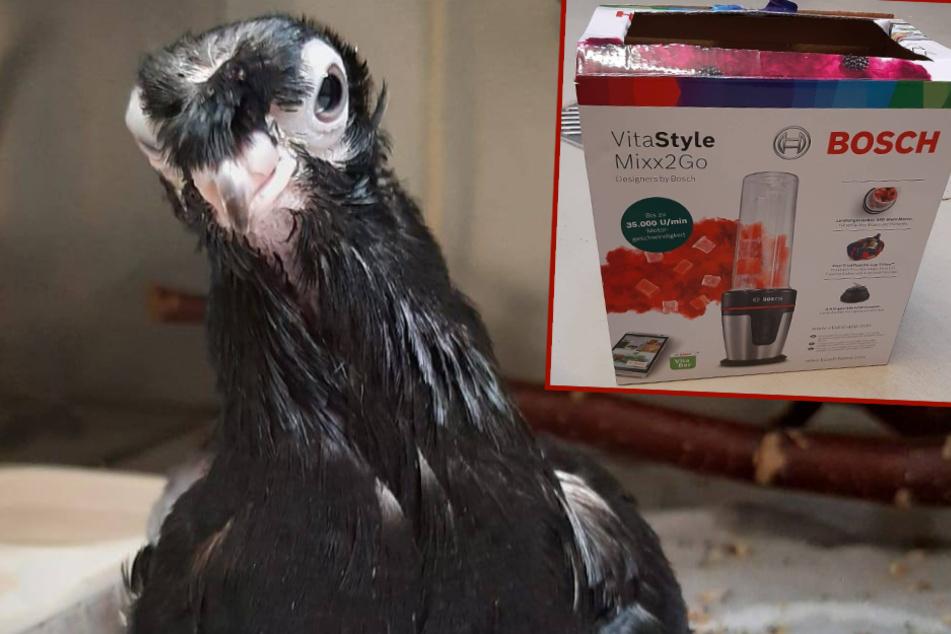 Schräger, zerzauster Vogel herzlos in Mixer-Karton ausgesetzt