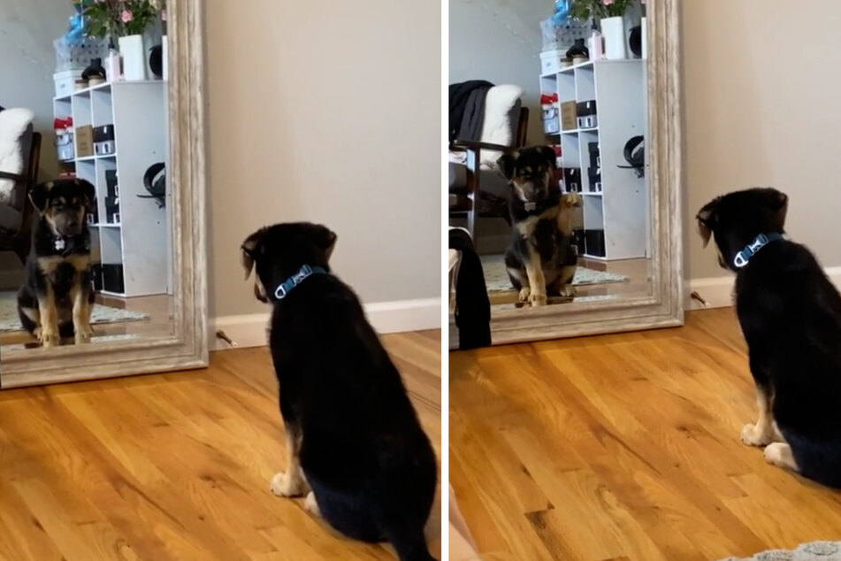 The puppy stares at his own reflection in fascination – then he waves to himself.