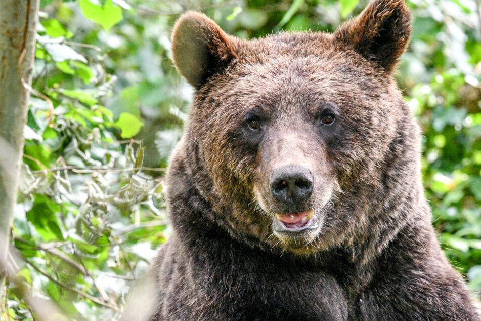 Betrunkener versucht Bär im Zoo zu ertränken