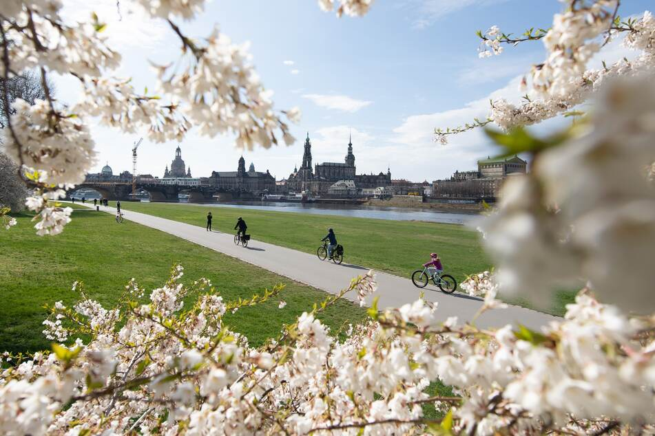 Auch die Kirschbäume blühten im April bereits – hier in Dresden.