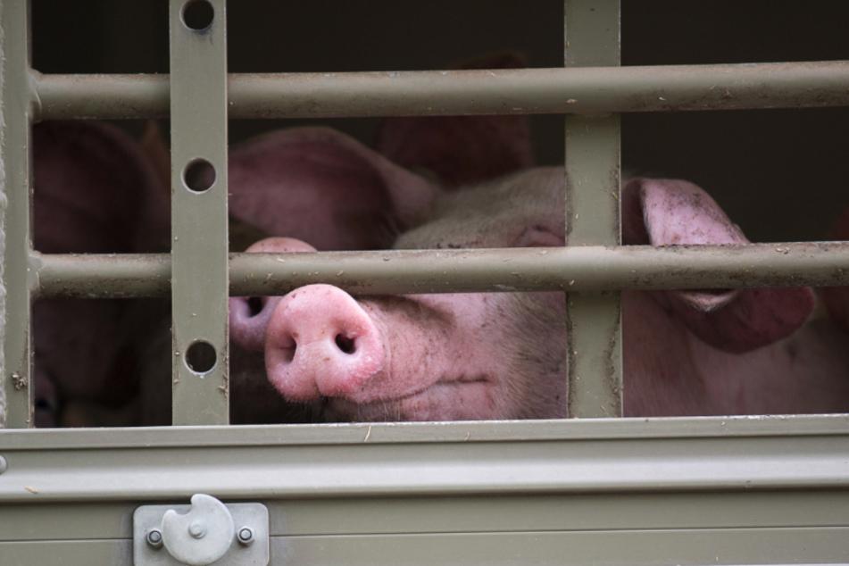 Tiertransport im Erzgebirge verunglückt: Drei Schweine tot
