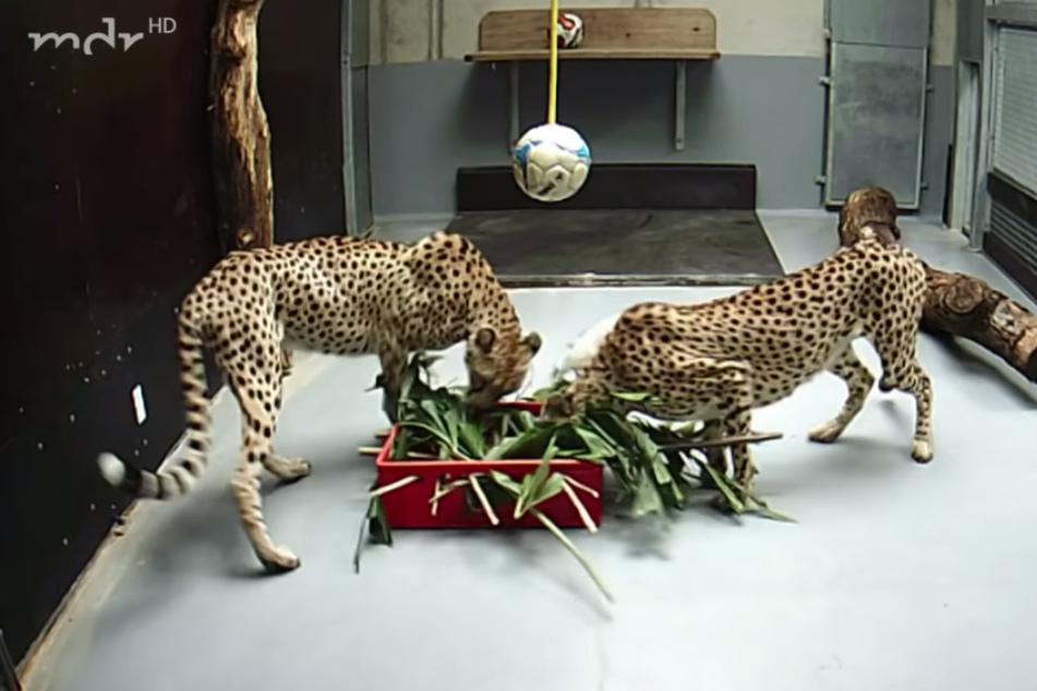 Die Geparden-Damen mit der roten Knobel-Kiste unter dem Ball.