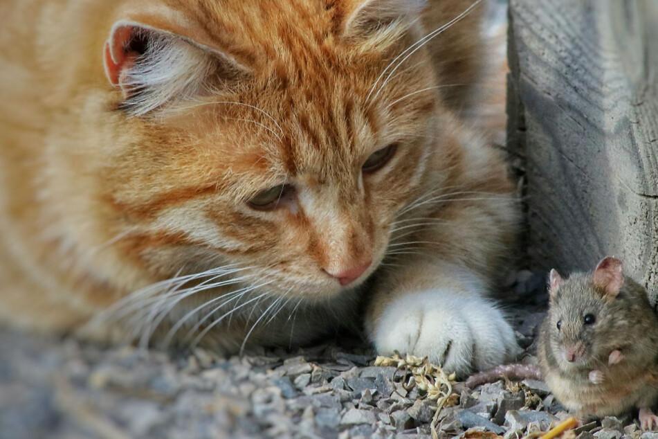 Die Maus sitzt in der Falle, jetzt lässt die Katze ihre Beute nicht mehr weg.