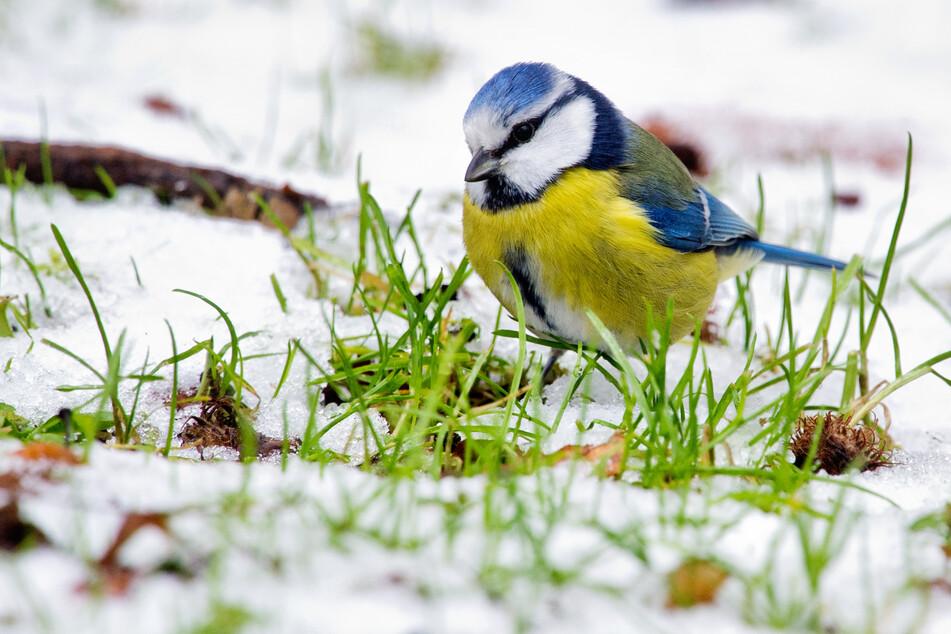 Beobachtungen von Naturfreunden sind gefragt, um das Vorkommen der Wintervögel in der Natur zu erfassen. Die Blaumeise soll dabei besonders viel Aufmerksamkeit bekommen.