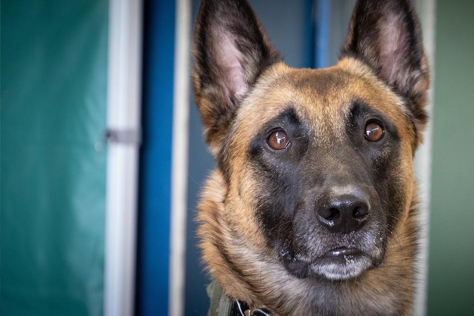 Dieser Hund kann herausfinden, wie ein Corona-Test ausfällt
