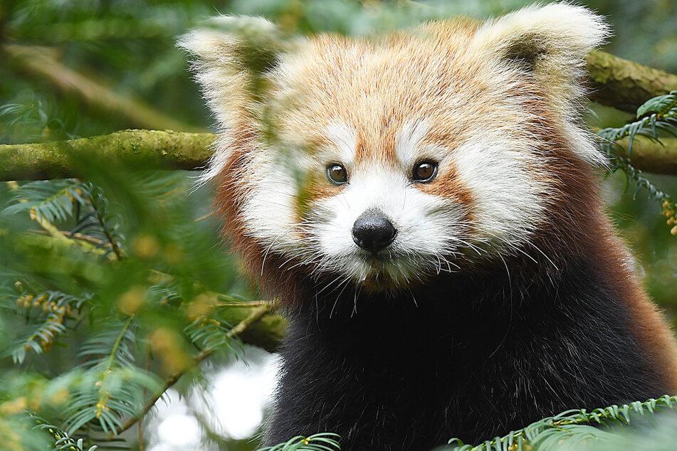 Neue Panda-Dame im Tierpark Görlitz: So besonders ist ihr Name