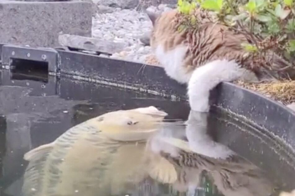 Während Mika entspannt am Teich liegt, schwimmt ein Koi ganz langsam auf sie zu und stupst dann ihre Tatze an.