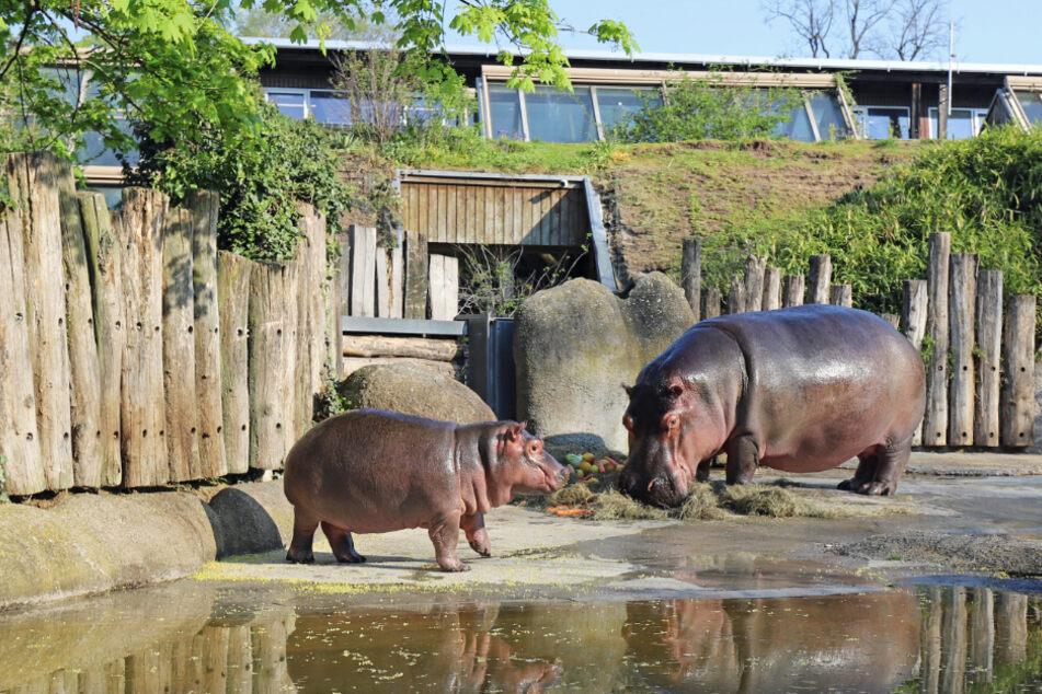 Das Flusspferd-Baby Halloween steht mit seiner Mutter Kathy im Freigehege im derzeit wegen der Corona-Pandemie geschlossenen Zoo Karlsruhe.
