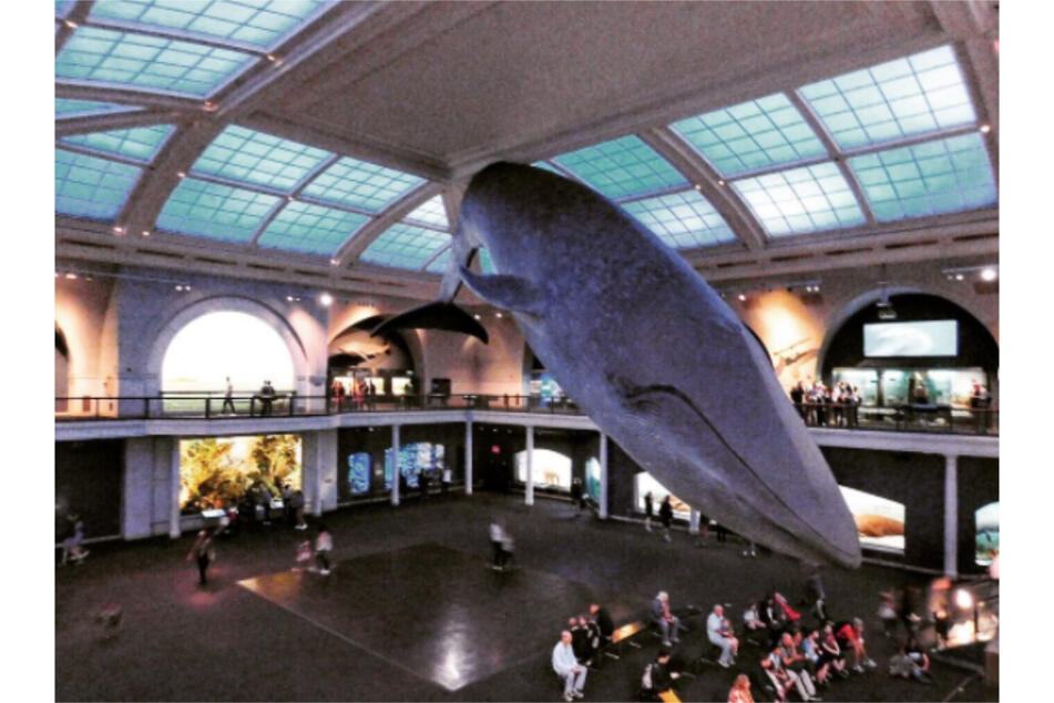 The American Museum of Natural History's blue whale exhibit in New York.