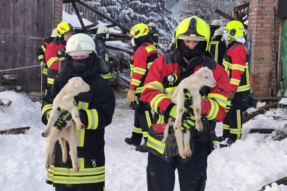 Die Feuerwehr konnte rund 350 Schafe aus dem eingestürzten Stall retten.