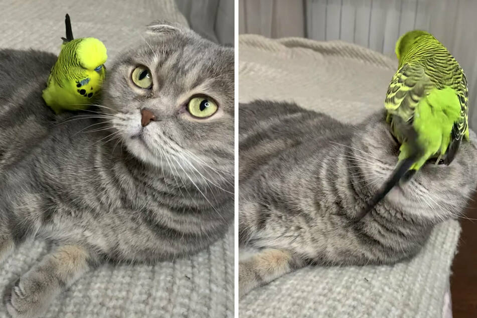 Real-life Sylvester and Tweety: parakeet loves to annoy his feline frenemy