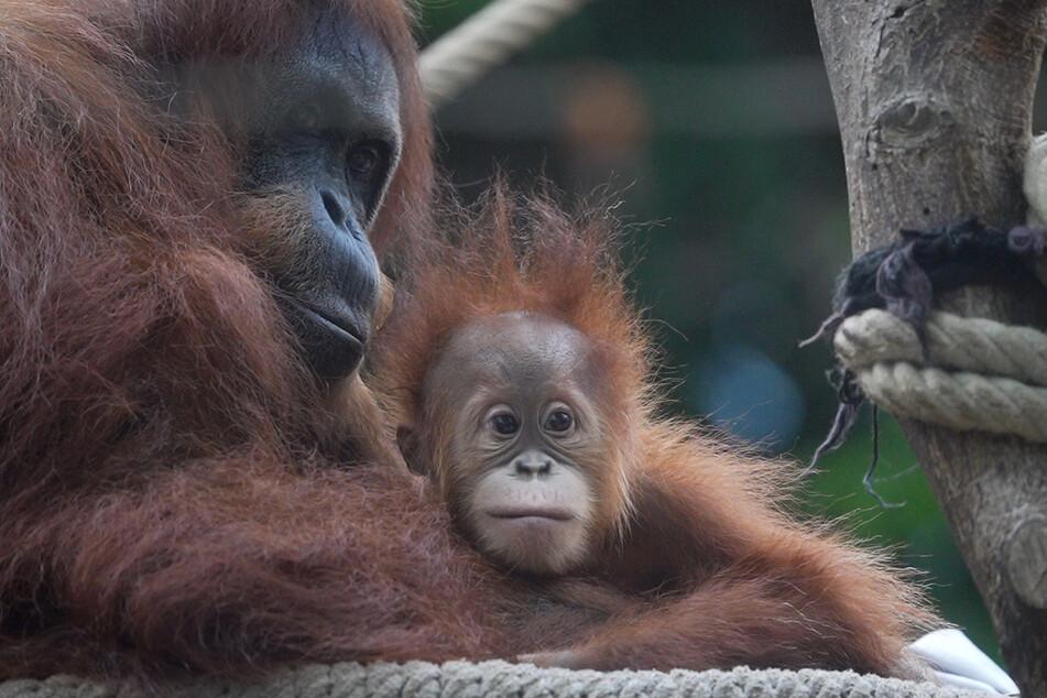 Seit dem Tod von Beranis Mutter kümmert sich Bella rührend um das Affenbaby.