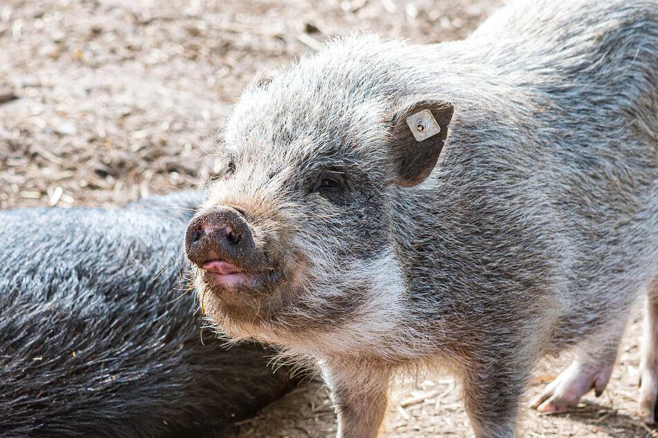 """Dieses Borstentier hat """"Schwein"""". Es darf in Blattersleben in Ruhe alt werden."""