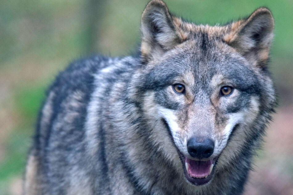 Blutbad angerichtet: Zweiter Wolfsangriff in Oberfranken bestätigt