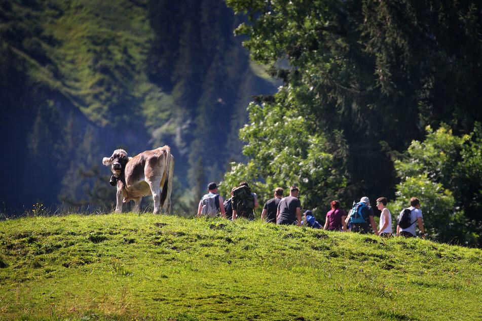 Ausflügler wandern am Grünten hinter einer weidenden Kuh im Sonnenschein.