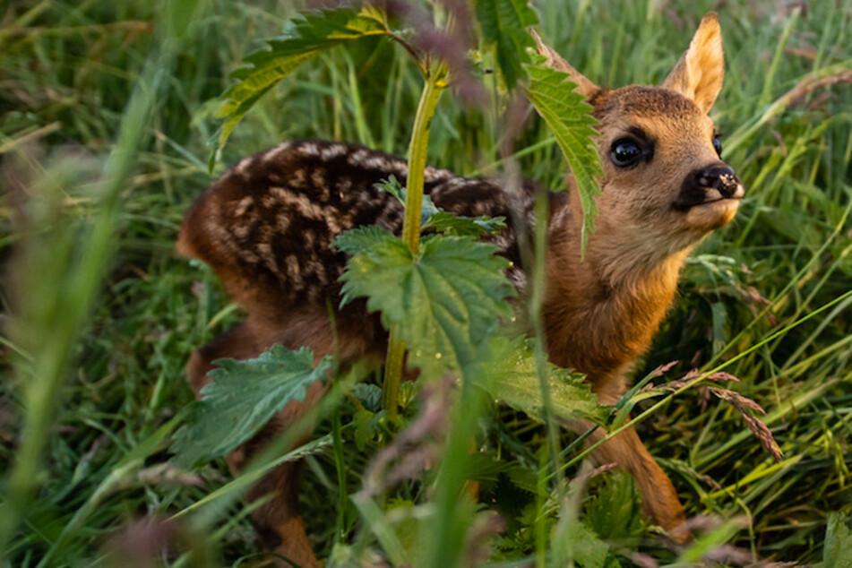 Frau wollte Rehkitz retten: Deshalb wird sie nun wegen Jagdwilderei angezeigt