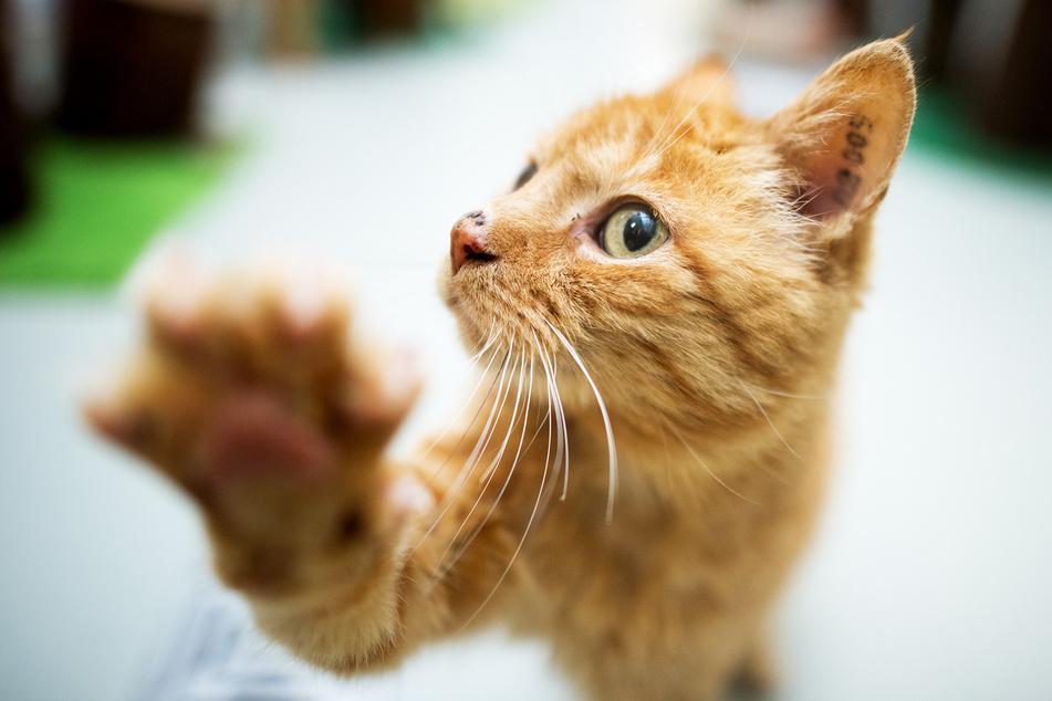 Eine Katze soll sich bei ihrer Besitzerin mit dem Coronavirus angesteckt haben. (Symbolbild)