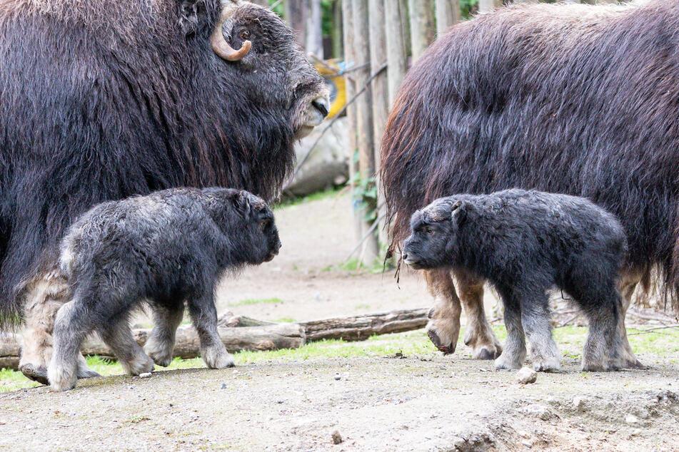 """Die beiden Kälber haben verschiedene Mütter, nämlich """"Lotte"""" und """"Lya"""", jedoch denselben Vater, den Bullen """"Odin""""."""