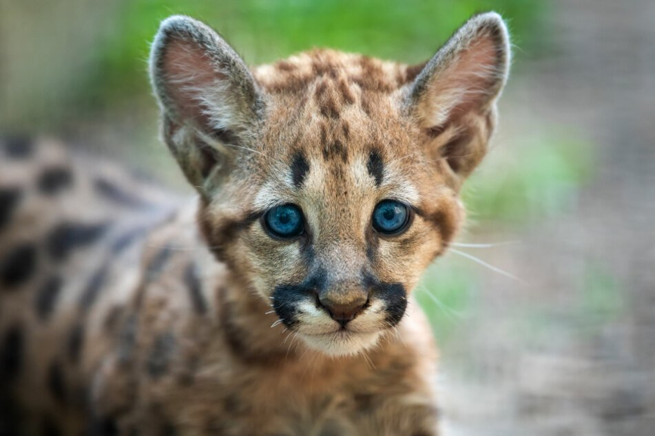 Park rangers and biologists were excited about the offspring of mountain lions (stock image).