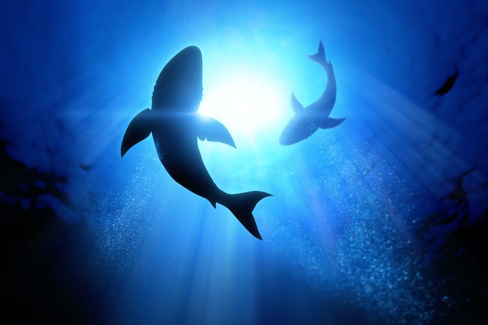 Zwei Surfer haben am Sonntag vor der Ostküste Australiens gegen einen großen Hai gekämpft. (Symbolbild)