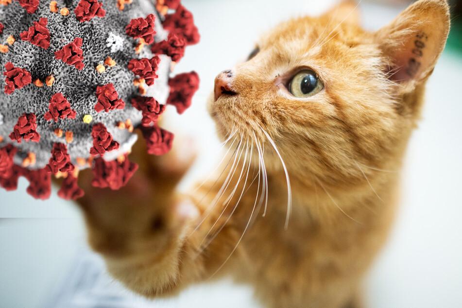Schwere Symptome: Frau steckt Katze mit Coronavirus an!