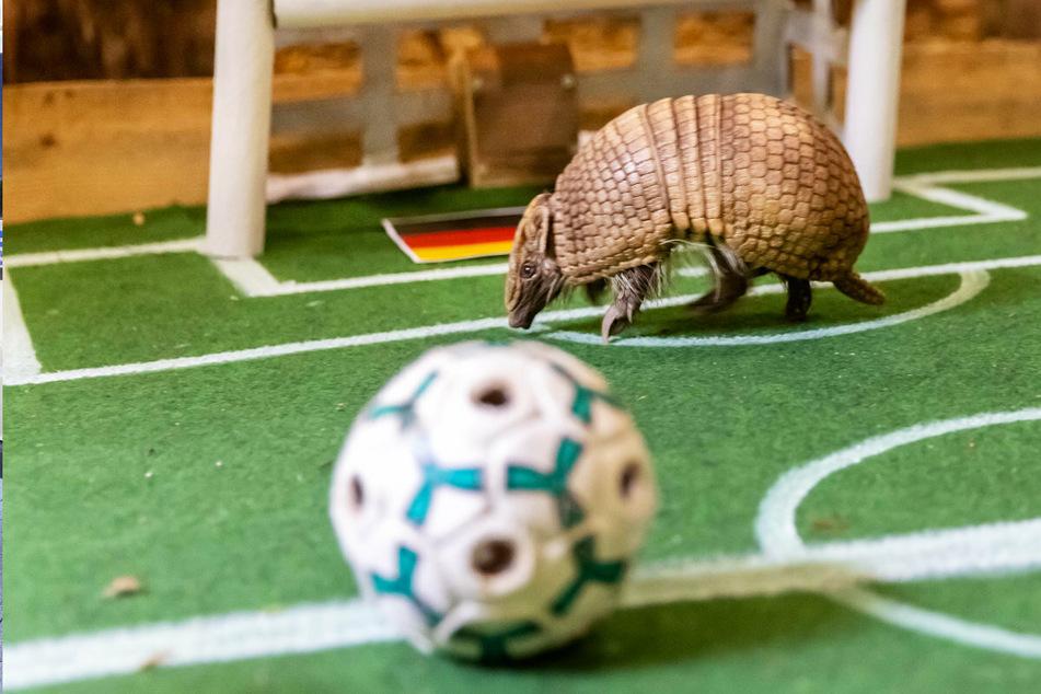 Tierisches EM-Orakel in Chemnitz: Das Gürteltier hatte offenbar keine richtige Lust auf Fußball.