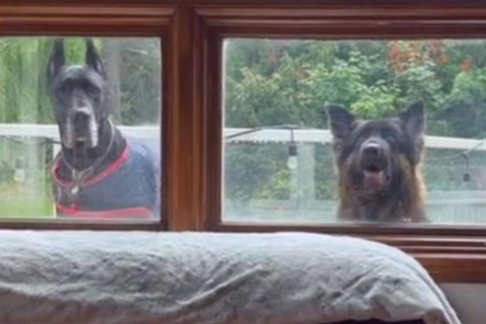 """""""Wir wollen rein!"""" Die Hunde blicken in dem ulkigen Clip alle durchs Fenster."""