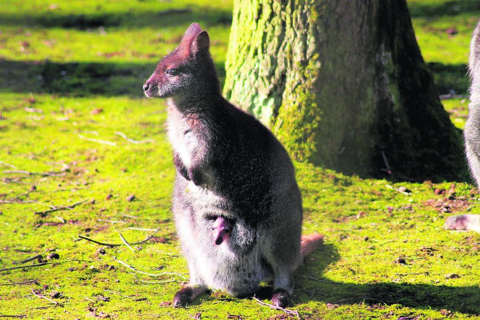 Die Bennett-Kängurus genießen die Ruhe im Chemnitzer Tierpark.