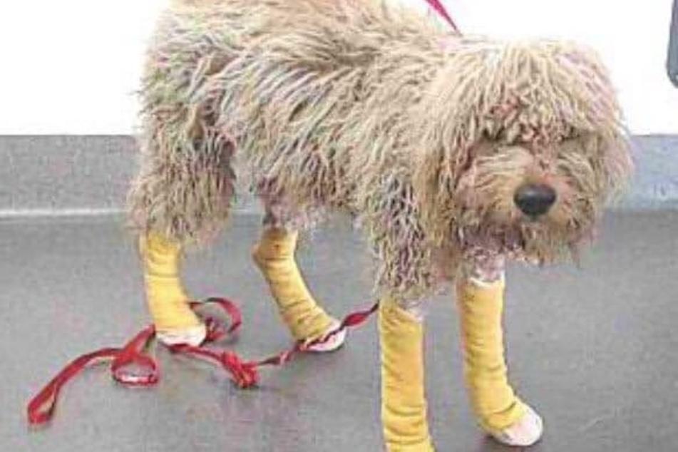 Als Hund Croks aufgefunden wurde, war er total verwahrlost und mit Wunden übersät.