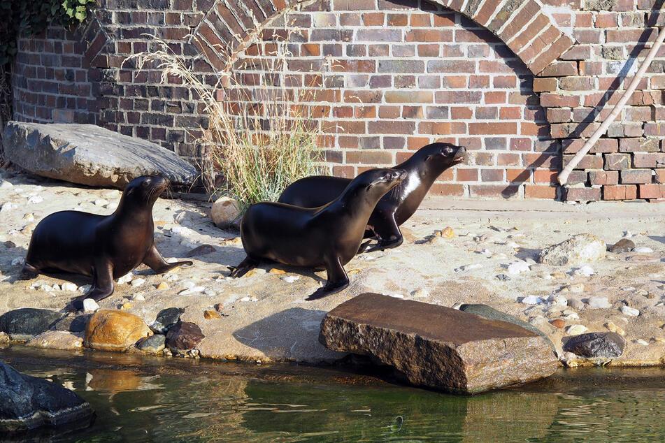 Die drei Seelöwen erkunden ihr neues Revier.