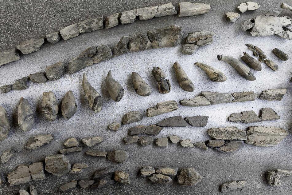 Fertig präparierte Zähne und Kieferteile eines 11 Millionen Jahre alten Urzeitwals, aus der Tongrube Pampau liegen auf einem Tisch.