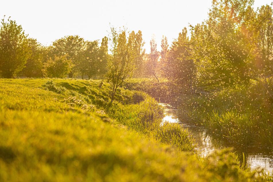 Kriebelmücken finden sich an Flüssen und Bächen, wo sie auch den Menschen angreifen.