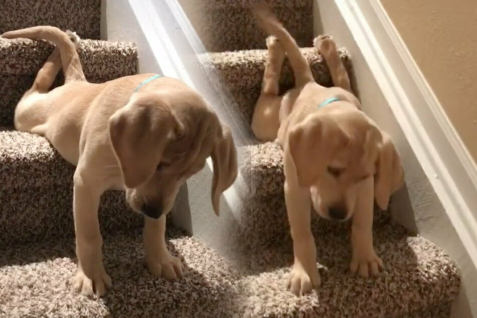 This adorable puppy is crawling down the stairs and racking up the likes