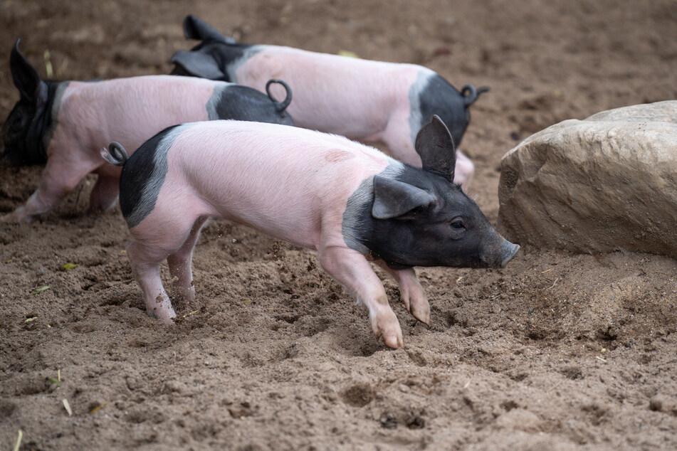 Bedrohte Schweine-Ferkel im Kölner Zoo geboren