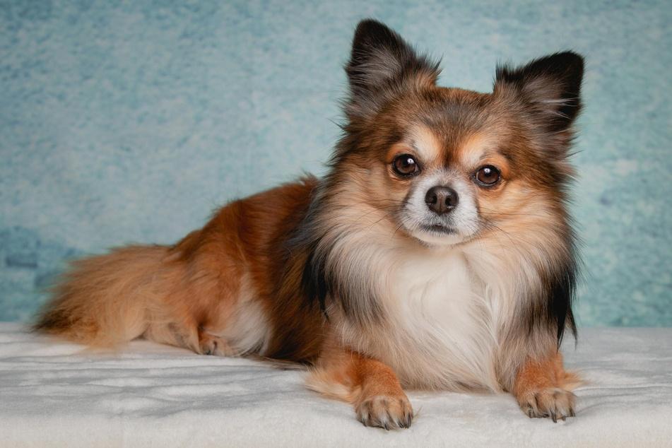 Mit einem Chihuahua an der Leine oder in der Handtasche kann sich das Sternzeichen Wassermann von der Masse abheben.