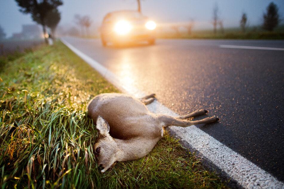 Wildunfälle häufen sich im Herbst, vor allem am Abend - und nehmen seit Jahren zu. Die Polizei warnt vor schweren Kollisionen.
