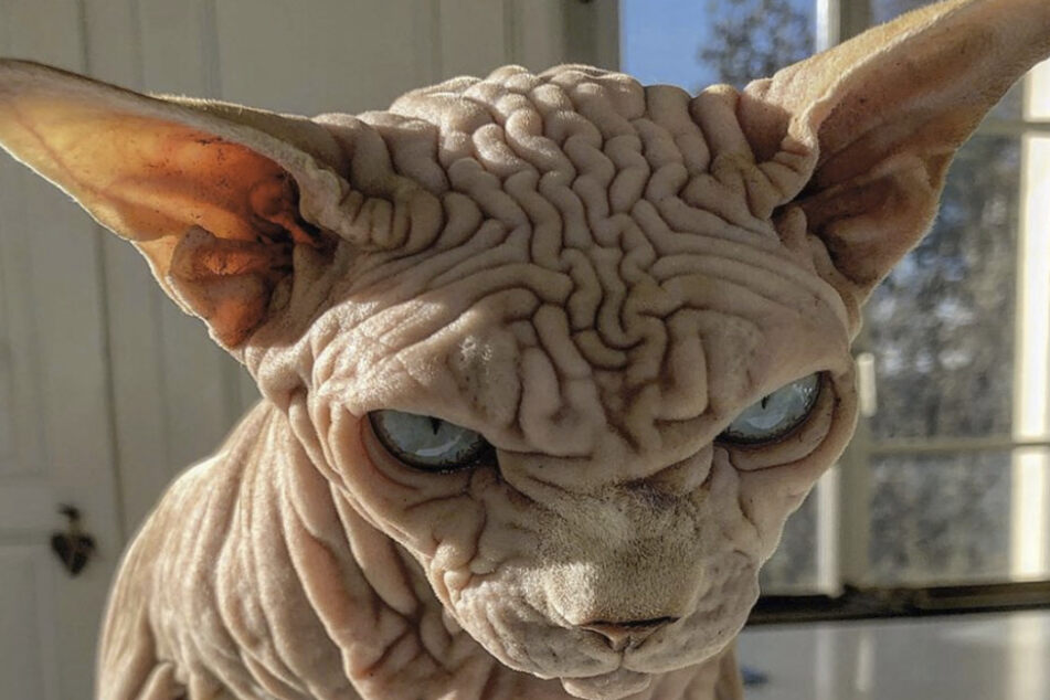 Gruselig oder süß? Diese Katze wird zum neuen Instagram-Star!