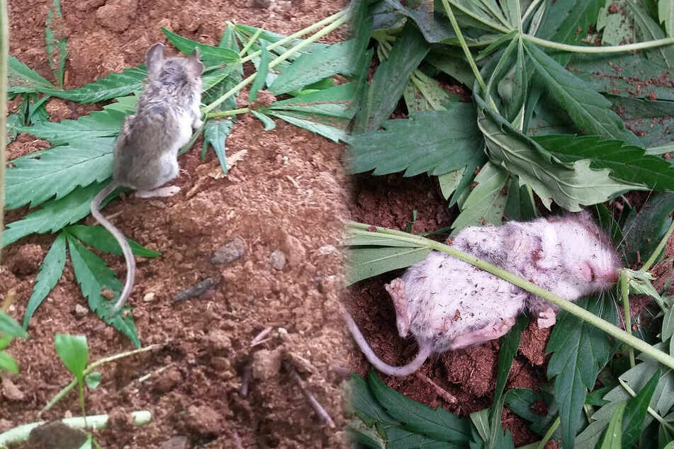 Rodent rehab: man helps mouse recover from pot addiction